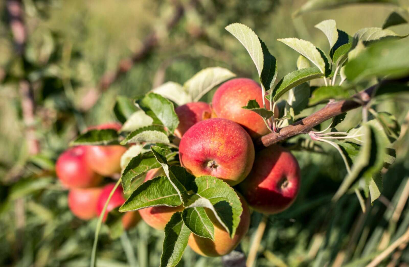 ?uuid=d4c54baa f74a 5c6a aa9e 9feb5ddb6409&function=cover&type=preview&source=false&width=1984&height=1299 The Montezuma Orchard Restoration Project preserves history of apples for the future